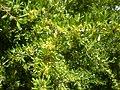 Rhamnus lycioides 3a.jpg