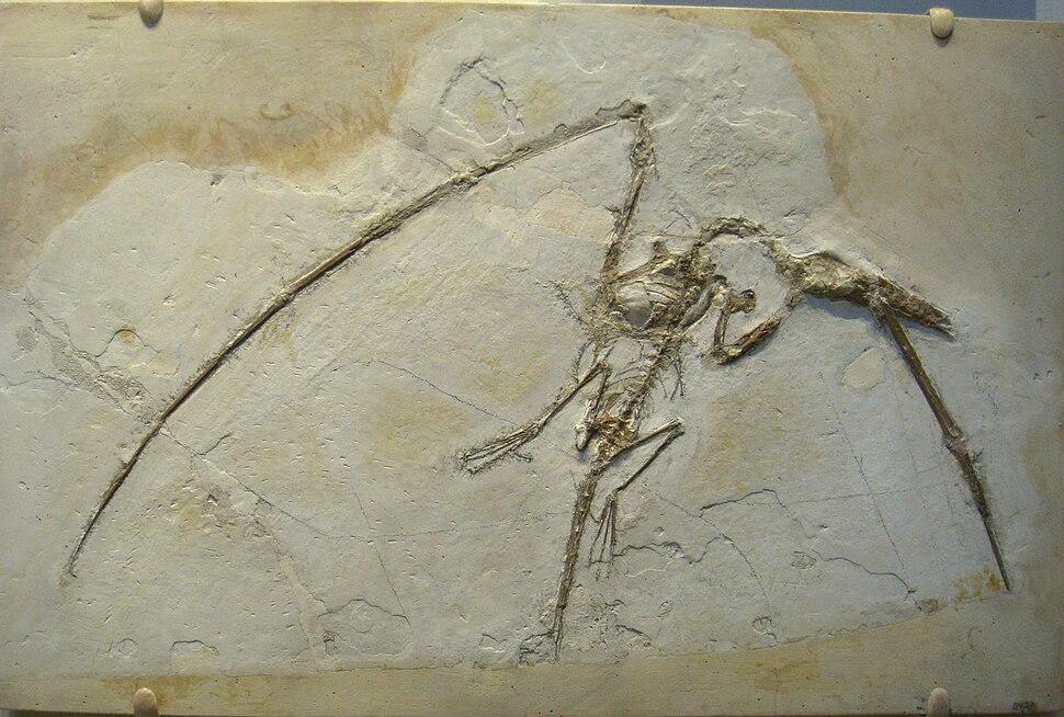 Rhamphorhynchus muensteri - IMG 0675