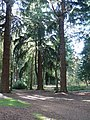 Rhinefield, tall, straight trees - geograph.org.uk - 1021716.jpg