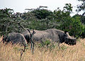 Rhinos in the grass.jpg