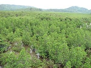 Rhizophora mucronata - Rhizophora mucronata growing on Iriomote Island, Japan