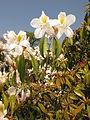 Rhododendron latoucheae var. amamiense 1.JPG