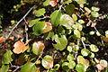 Ribes speciosum - UC Davis Arboretum - DSC03419.JPG