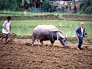 Pflügen des Reisfeldes mit Wasserbüffel und Holzpflug
