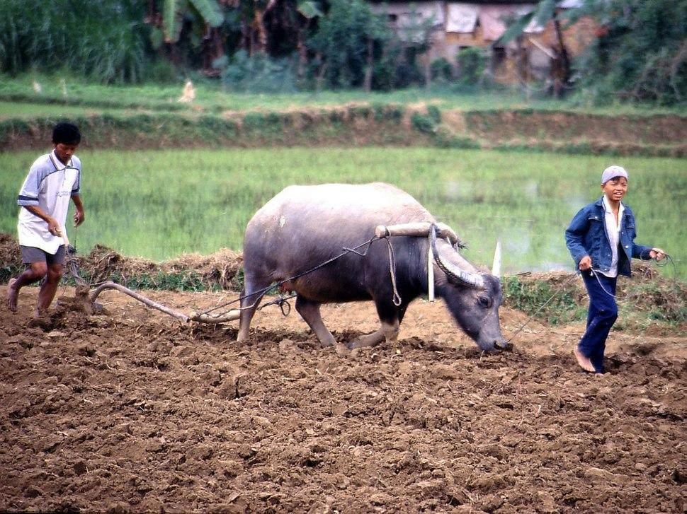 Rice Cultivation Vietnam.1024x768