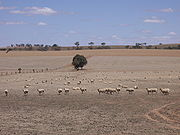 Sheep in the Riverina which has a large wool industry