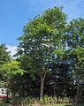 Robinia pseudacacia11.JPEG