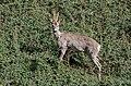 Roe deer Norway May 2019 (5).jpg