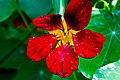 Romania flower 7788 (14901487848).jpg