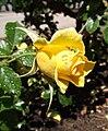 Rosa-sunflare2.jpg