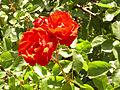 Rosa 'Andalusien' Kordes RPO.jpg