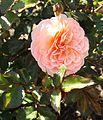 Rosa apricot drift 2.jpg