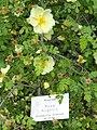 Rosa hugonis - Botanischer Garten Freiburg - DSC06461.jpg
