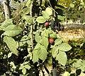 Rosa tomentosa fruit (04).jpg
