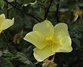 Rosa xanthina f spontanea.jpg