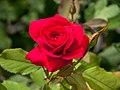 Rose, Kish ( 1090398).jpg