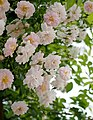 Rose, Paul's Himalayan Musk Rambler, バラ, ポールズ ヒマラヤン ムスク ランブラー, (15789031421).jpg