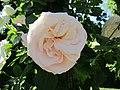 Rose Palais Royal.jpg