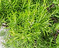 Rosmarinus officinalis in Jardin des 5 sens (1).jpg