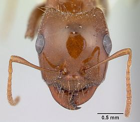 Rossomyrmex proformicarum casent0178514 head 1.jpg