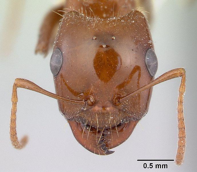 File:Rossomyrmex proformicarum casent0178514 head 1.jpg