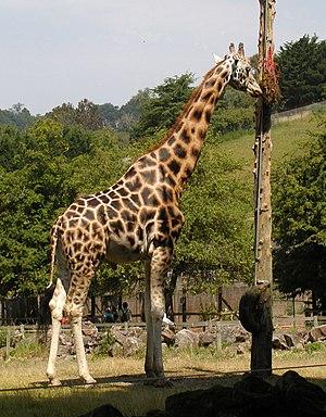 Rothschild's giraffe - Rothschild's giraffe at Paignton Zoo, England.
