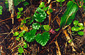 Rubus nivalis2.jpg