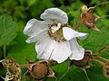 Rubus parviflorus 4 (5097354781).jpg