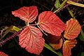 Rubus ulmifolius 01 by-dpc.jpg