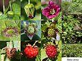 Rubus vernus (Montage).jpg