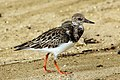 Ruddy turnstone (Arenaria interpres morinella).jpg