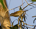 Rufous Banded Honeyeater with Insect - Fogg Dam - Northern Territory - Australia.jpg