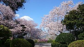 Cherry blossom - Cherry blossoms at Sugimura park, Hashimoto