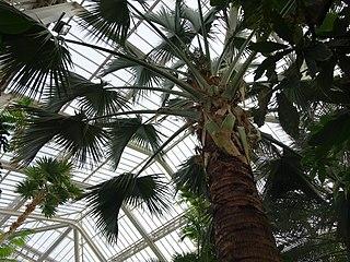<i>Sabal domingensis</i> species of plant