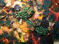 Sabang nudibranch.jpg