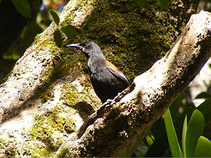 Ulva Island (New Zealand) - A tieke, or South Island saddleback, on Ulva Island, where they were first released in 2000. A population of South Island saddlebacks is maintained on the island by the University of Otago.