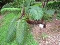 Sadleria cyatheoides in Lyon Arboretum.jpg