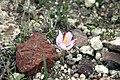 Saffron of Santorini (5214263414).jpg