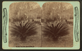 Sago palm, St.Augustine, Fla, from Robert N. Dennis collection of stereoscopic views.png