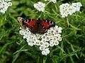 Sakhalin butterfly.jpg