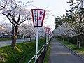 Sakura trees on the Herb street in Nishime, Akita 20180421.jpg