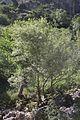 Salix (Söğüt).jpg