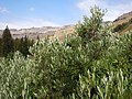 Salix lemmonii (in Death Canyon) (28585512833).jpg