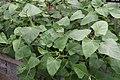 Salvia cacaliifolia 1zz.jpg
