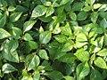 Salvia chiapensis 0zz.jpg