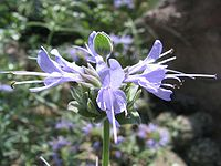 Salvia clevelandii - jim sage - desc-flowers - status-rare