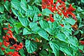 Salvia splendens (scarlet sage) 3 (49081582627).jpg
