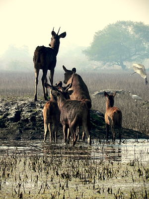 Sambhars are common sight at Keoladeo Ghana National Park Bharatpur India.jpg