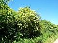 Sambucus nigra 001.jpg