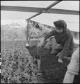 San Leandro, California. Watering young plants on a farm in Alameda County, California, prior to ev . . . - NARA - 536437.tif